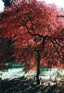 Amazon Com Crimson Queen Japanese Maple 7 Seeds Acer Bonsai