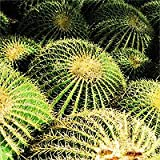 Golden Barrel Seeds - Echinocactus grusonii