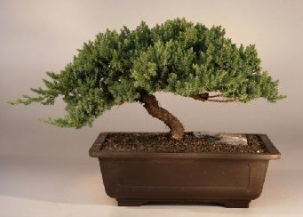 Bonsai Boy's Juniper Windswept - Extra Large juniper procumbens 'nana' by Bonsai Boy