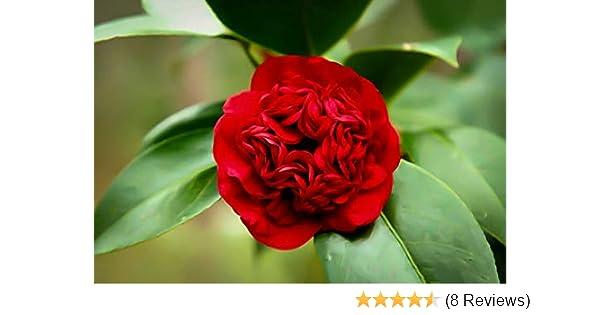 Amazon Com Pixies Gardens Professor Sargent Camellia Japonica