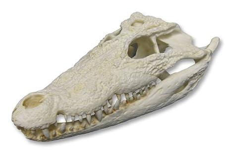 Mugger Crocodile Skull Teaching Quality Replica Animal Anatomical