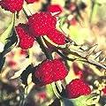 100 STRAWBERRY STICKS / STRAWBERRY SPINACH Chenopodium Foliosum Fruit Berry Seeds *Comb S/H