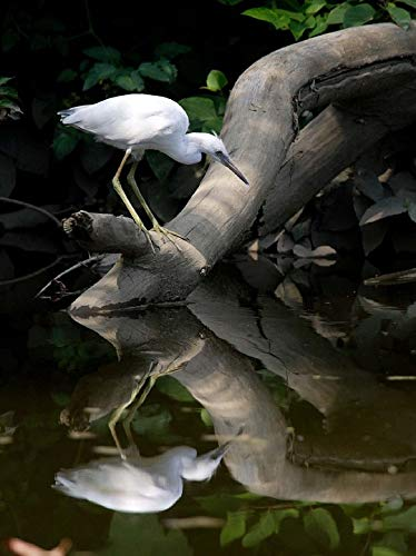 Home Comforts Peel-n-Stick Poster of Little Blue Heron Wildlife Juvenile Nature Scenic Vivid Imagery Poster 24 x 16 Adhesive Sticker Poster Print