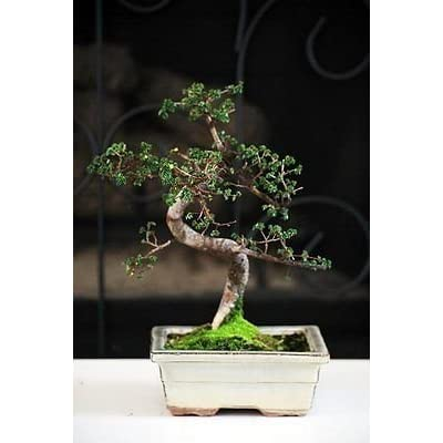 "New and Fresh Chinese Elm Bonsai Tree 10 years old specimen, 10"" - 12"" tall Mature Bonsai : Grocery & Gourmet Food"