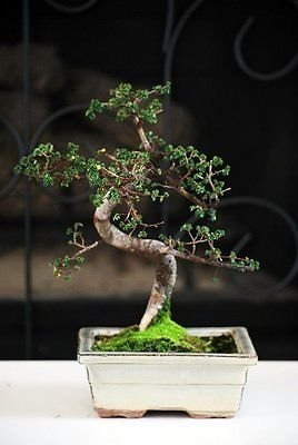 - New and Fresh Chinese Elm Bonsai Tree 10 years old specimen, 10