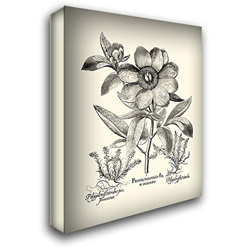 - Black and White Besler Peony I 36x46 Extra Large Gallery Wrapped Stretched Canvas Art by Besler, Basilius