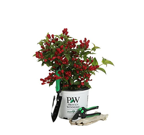 1 Gal. Sonic Bloom Red Reblooming Weigela (Florida) Live Shrub, Red Flowers by Proven Winners (Image #7)