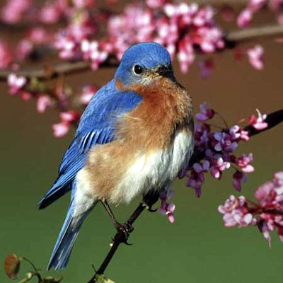 Eastern Bluebird II, 500 Piece Jigsaw Puzzle Made by Buffalo