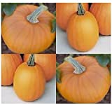 Best MySeeds.Co Pumpkin Seeds - 1 oz (200+ seeds) SPOOKIE PIE Pumpkin seeds Review