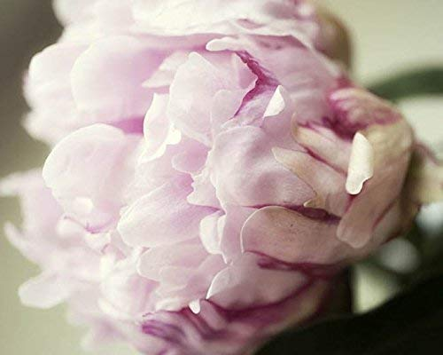 Amazon Com Peonies Flower Photography Pink Botanical Nature Wall Art 5x7 Inch Print Handmade
