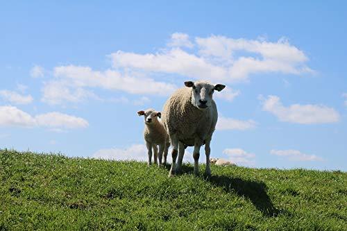 - Home Comforts Peel-n-Stick Poster of Sheep Dike Lamb Clouds Sheep and Lambs Dike Sheep Vivid Imagery Poster 24 x 16 Adhesive Sticker Poster Print