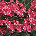 Red Dogwood Tree Seeds 15 Seeds Upc 643451295801