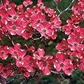 Red Dogwood Tree Seeds 15 Seeds Upc 643451295801