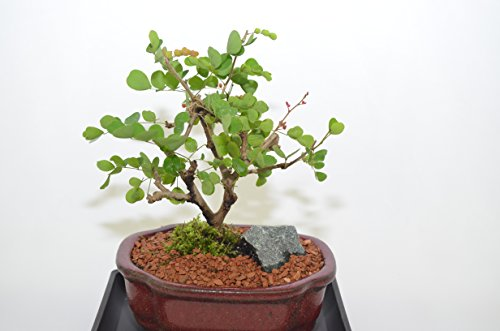 Blood wood Bonsai, Broom Style, 5 years old, Very Unique Tropical Tree,Free Watering Tray.