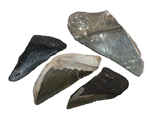 - Fossil Megalodon Shark Tooth specimens (Half-Pound).Over 2 Million Years Old, These Fossils Excite Young and Old Earth Science Enthusiasts as They Literally Hold History in Their Hands.