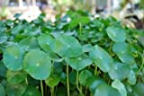 5 Water Pennywort Bog or Shoreline Water Garden Pond Plant - NURSERY GROWN IN AQUATICS PLANTS NURSERY