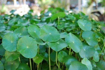 5 Water Pennywort Bog or Shoreline Water Garden Pond Plant - NURSERY GROWN IN AQUATICS PLANTS NURSERY