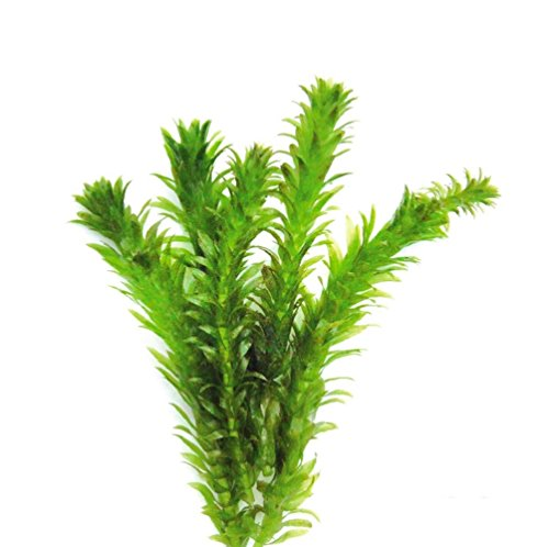 AquariumPlantsFactory Anacharis Egeria Densa Freshwater Live Aquarium Pond Plants BUY2GET1FREE