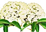 Elderberry - Tree - Shrub - Fruit - Established Roots - 1 Plant in 2 Gallon Pot by Growers Solution