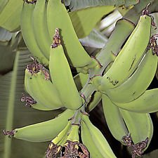 Musa Dwarf Puerto Rican Banana Plantain fruit tree Live Plant Tropical fruiting