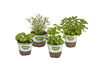 Bonnie Plants 4P407 Bug Bouncing Garden (4-Pack-Basil, Mint, Rosemary, Lemon Balm)