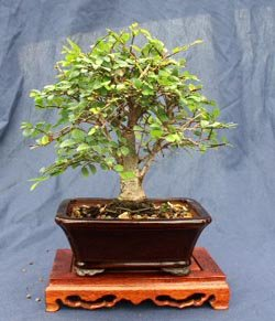 Specimen 8''-10'' Shohin/mame Chinese Elm Bonsai Tree, From Hollow Creek Bonsai