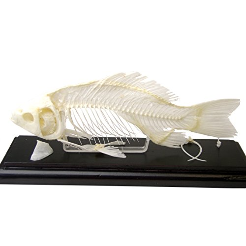 Skeleton Acrylic (C & A Scientific - Premiere 51001 Real Fish Skeleton)