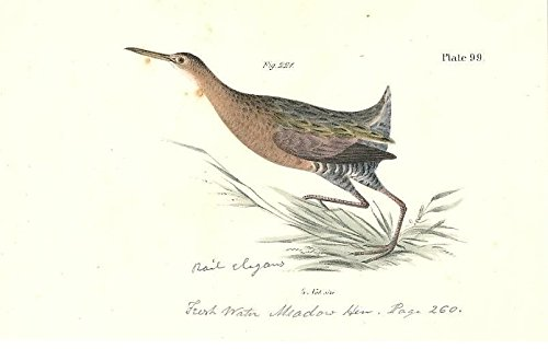 fresh-water-meadow-hen-1842-engraved-antique-color-bird-print