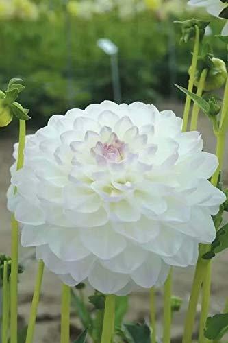 Growing Dahlia Flowers - White Dahlia Bulbs(3 Bulbs)(Not Seeds) Growing Quickly Flowers Bonsai Decor Your Garden Home Balcony