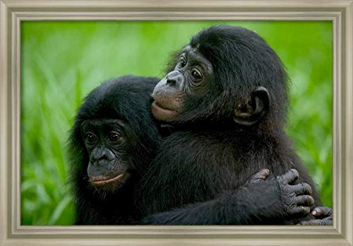 (Framed Canvas Wall Art Print | Home Wall Decor Canvas Art | Bonobo Pair of Orphans Hugging, Sanctuary Lola ya Bonobo, Democratic Republic of The Congo by Cyril Ruoso | Modern Decor | Stretched Canvas)