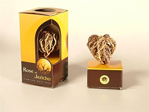 Real Judea desert Rose of Jericho, Mary's Rose, Anastatica hierochuntica Resurrection plant from the holy land, spiritual souvenir, gift. - Rose Jericho