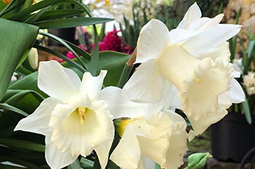 5 Bulbs, Size 12/14 of Daffodil Mount Hood Landscaper Special, Trumpet ()