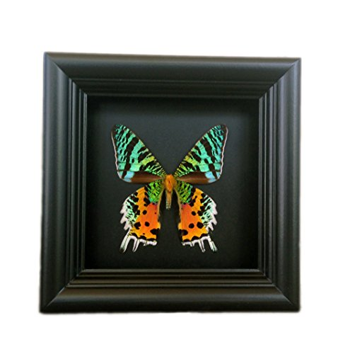 Real Framed Sunset Moth Display Shadow Box