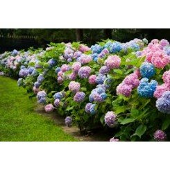 ((1 gallon pot) BLOOMSTRUCK ENDLESS SUMMER HYDRANGEA, big, beautiful blooms 3-4