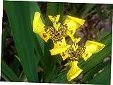 "FYR 1 Bare Rooted 4"" Trimezia Steyermarkii Yellow Walking Iris - LY269"