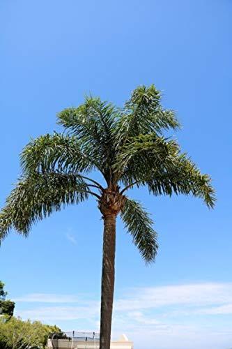 6pcs Syagrus Romanzoffiana Queen Palm Live Tree Seedlings Tropical Tree