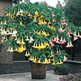 Beautiful 100 Mix color Datura Seeds, Dwarf Brugmansia Angel Trumpets, bonsai flower , fragrant yellow blooms