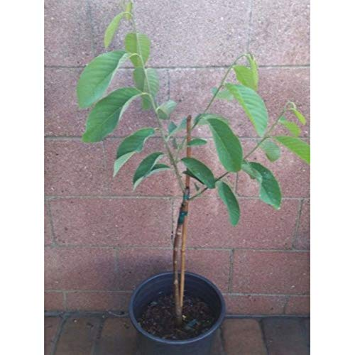 Atemoya Tropical Fruit Trees 36'' Height in 3 Gallon Pot #BS1 by iniloplant (Image #2)