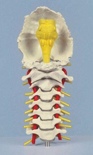 Anatomie Modell - Künstliche Skelette und Modelle - Wirbelsäulen ...