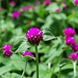 Gomphrena Purple Globe Flower Seeds (Gomphrena Globosa) 100+Seeds