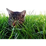 Cat Grass seed digestive mix (Oat and Wheat) 10g, 125g, 450g quantity options (450g)