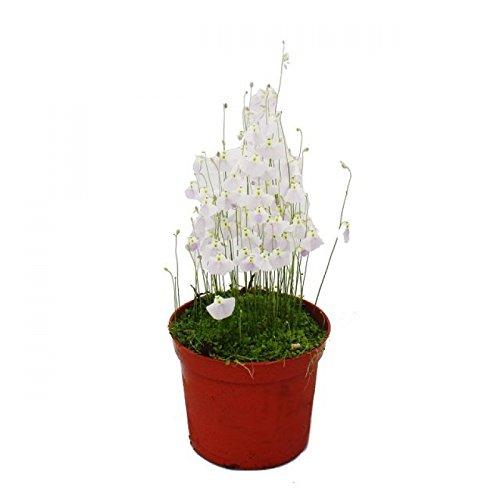 Fleischfressende Pflanze - Wasserschlauch - Utricularia - 9cm Topf - Rarität