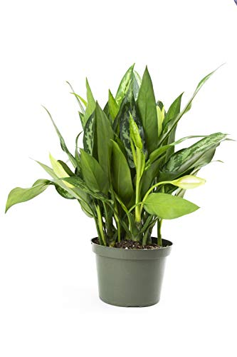 Plant Chinese Evergreen (Burpee 26904 Maria Indoor Plant, Green)