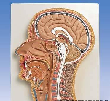 3B社 頭部断面模型 頭部断面モデル正中矢状断 (c12)   B003Z2SD9U