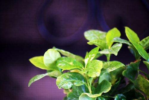 9GreenBox - Arabica Coffee Plant Bonsai with Fertilizer by 9GreenBox.com (Image #2)'