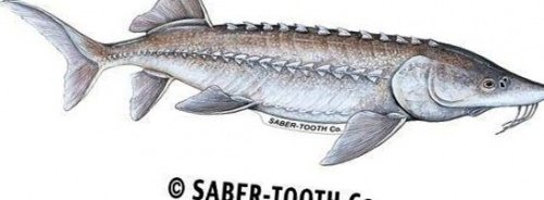 Saber-Tooth Co Sturgeon Decal/sticker ~ Fishing, Hunting & Wildlife Series for Boats, Trucks, Cars (Medium-14 x 5.5-Reverse Facing) ()
