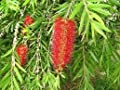 (3 gallon) BOTTLE BRUSH PLANT-gorgeous bottlebrush like flowers, get their name from the spikes of flowers that bloom at the ends of the stems, bearing a strong resemblance to a bottle brush.