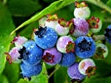 Organic Heirloom 100 Bush Blueberry Blueberries Blue Berry Seeds Lowbush Edible Fruits F46