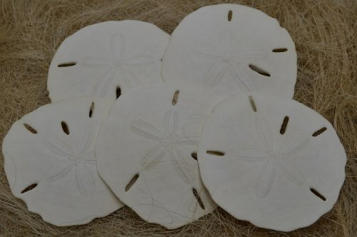 50 Pcs White Sand Dollar Sea Shell Crafts Wedding 3