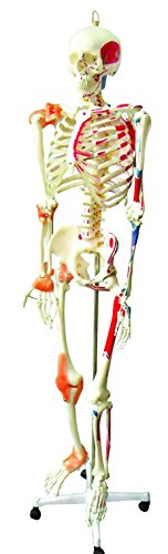 Human Muscles Skeleton (Walter Products B10215 Medical Life Size Human Skeleton Model with Muscles and Ligaments, Full Size 67